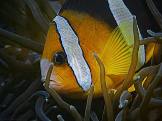 Clark's Anemonefish, Clarks Anemonenfisch (Amphiprion clarkii)