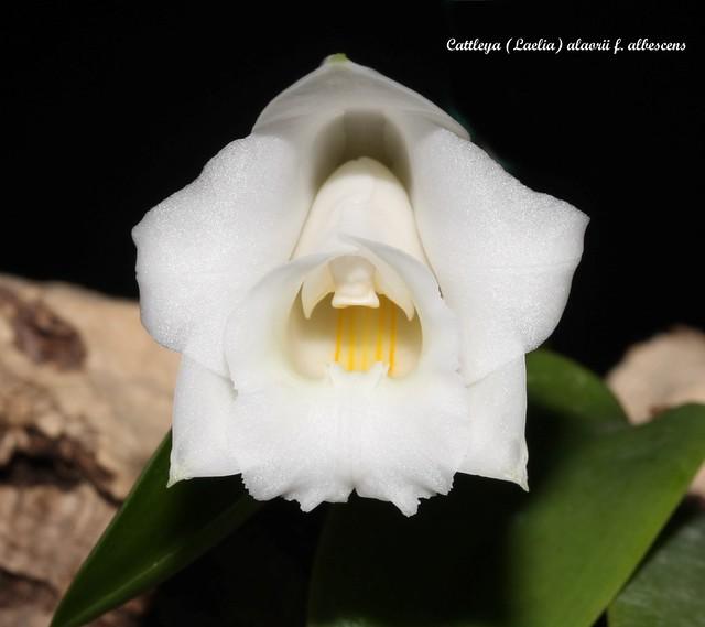 Cattleya (Laelia) alaorii f. albescens 48339447536_14e4eac3d9_z