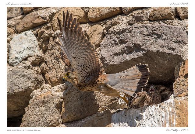 Le faucon crécerelle   Common Kestrel