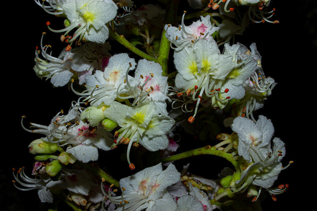 Flowers of Aesculus hippocastanum