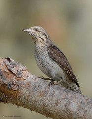 Jynx torquilla _Wryneck // Torcicolo
