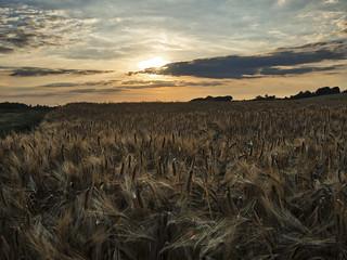 ripening grain, Winchester, UK