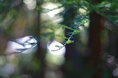 Redwood forest morning, Cazadero California