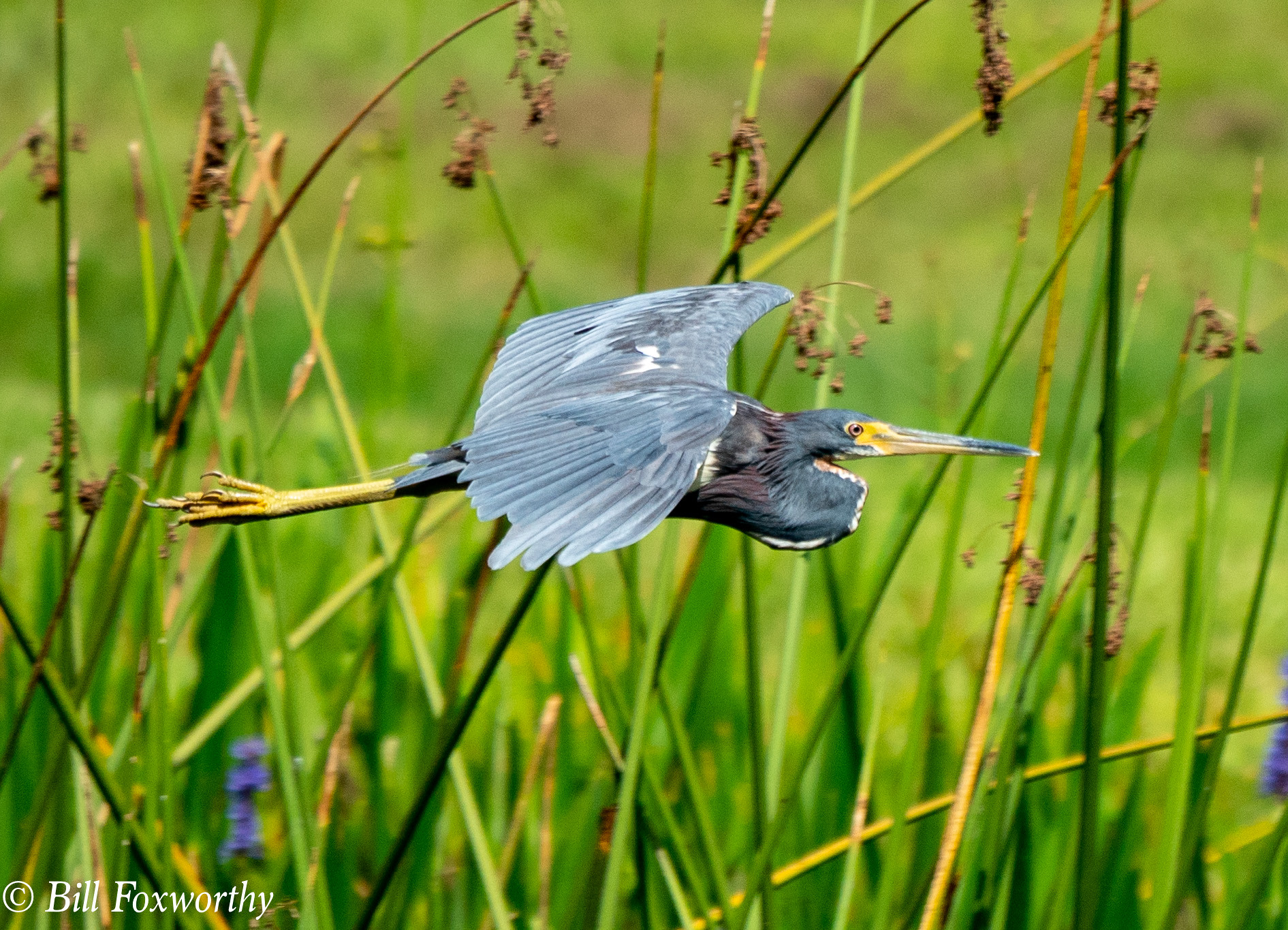 SONY-ILCE-A9, Tri Colored Heron, 00933 ,July 19, 2019