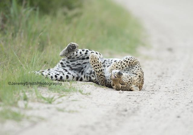 African Leopard, Panthera pardus pardus, Hwange National Park, Zimbabwe