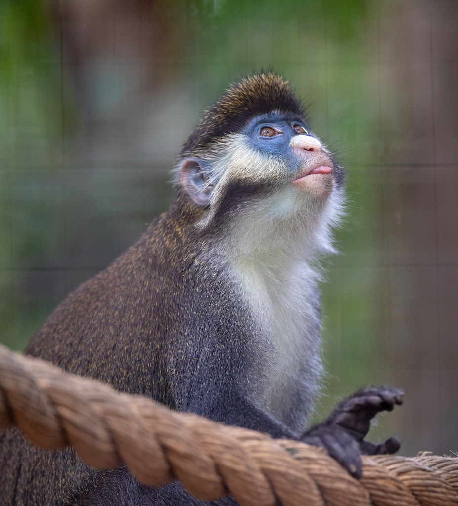 Schmidts Red Tailed Guenon_3