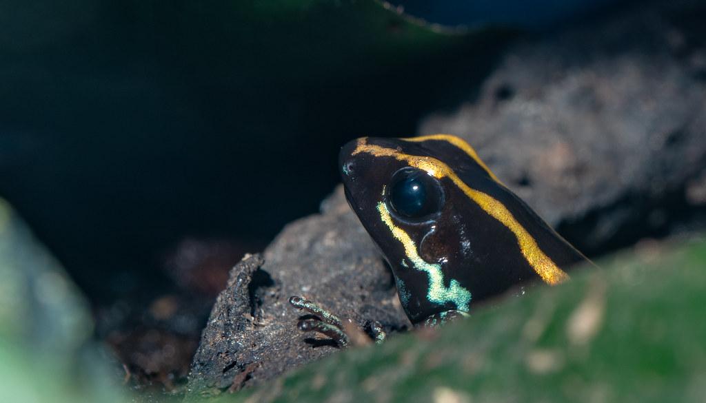 Gulfodulcean Frog_1