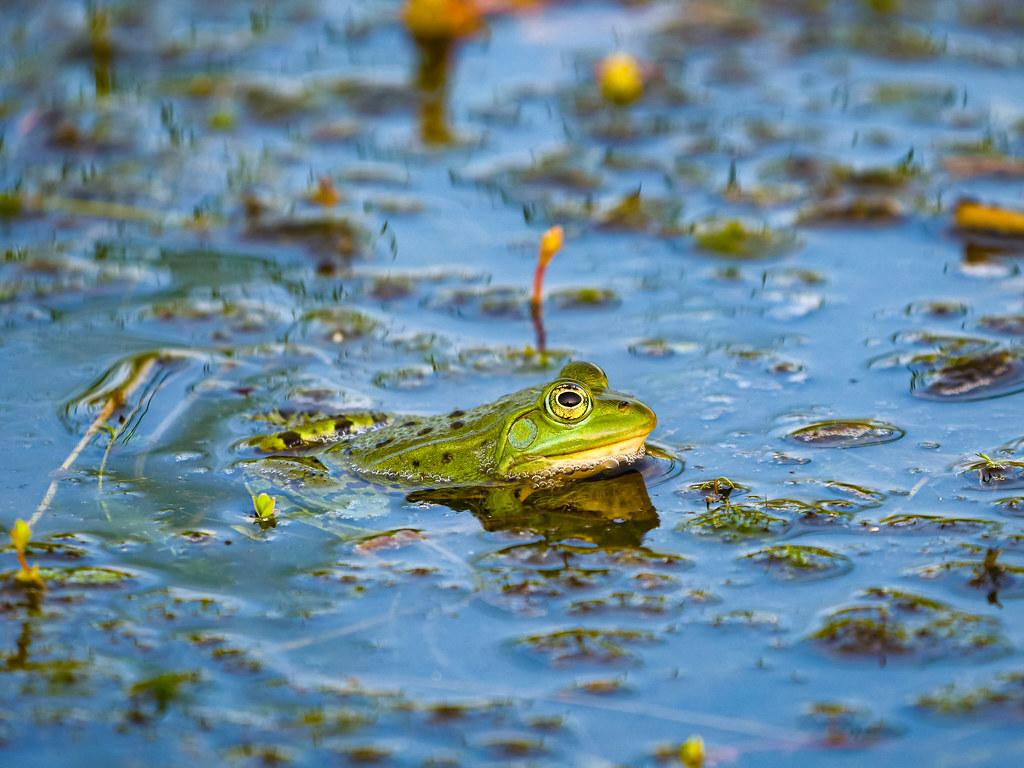 Green frog @Kalmthoutse heide nature reserve
