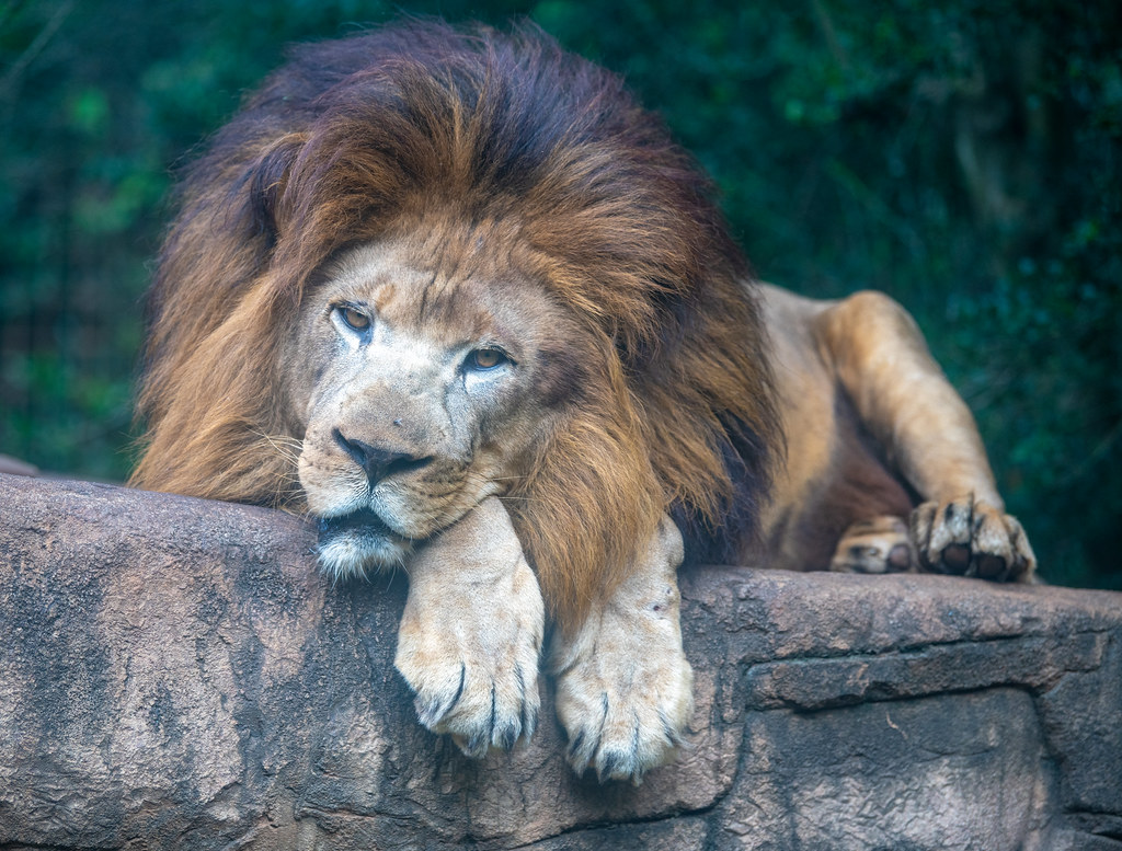African Lion_3