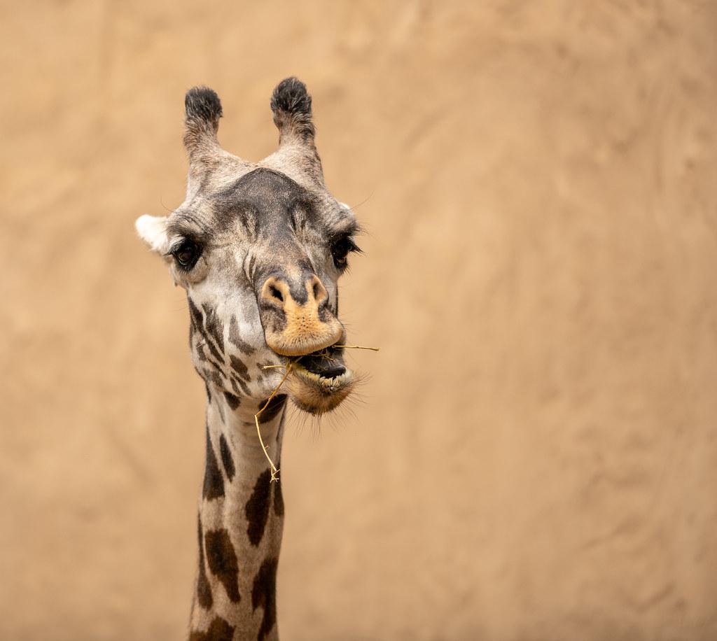 Masai Giraffe_7