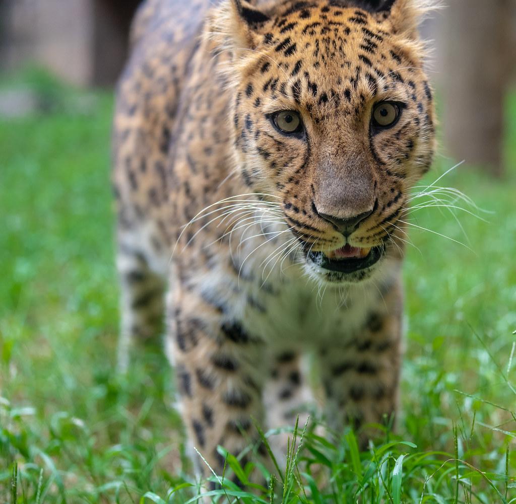 Leopard_8