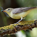 Icterine Warbler - Photo (c) Radovan Václav, some rights reserved (CC BY-NC)