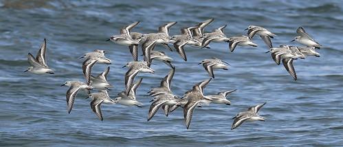 sanderling calibrisalba charadriiformes sandpiper shorebird migration holarctic pointroberts washingtonstate tsawwassenpeninsula whatcomcounty usa animalplanet