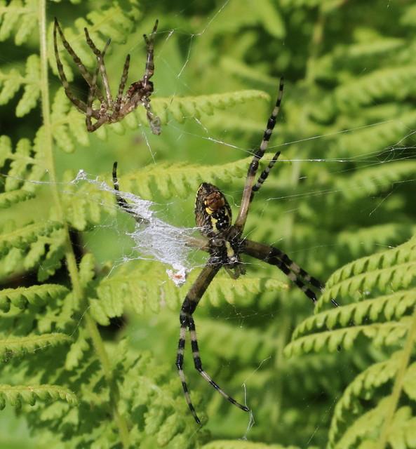 Garden Spider at Flatbrookville