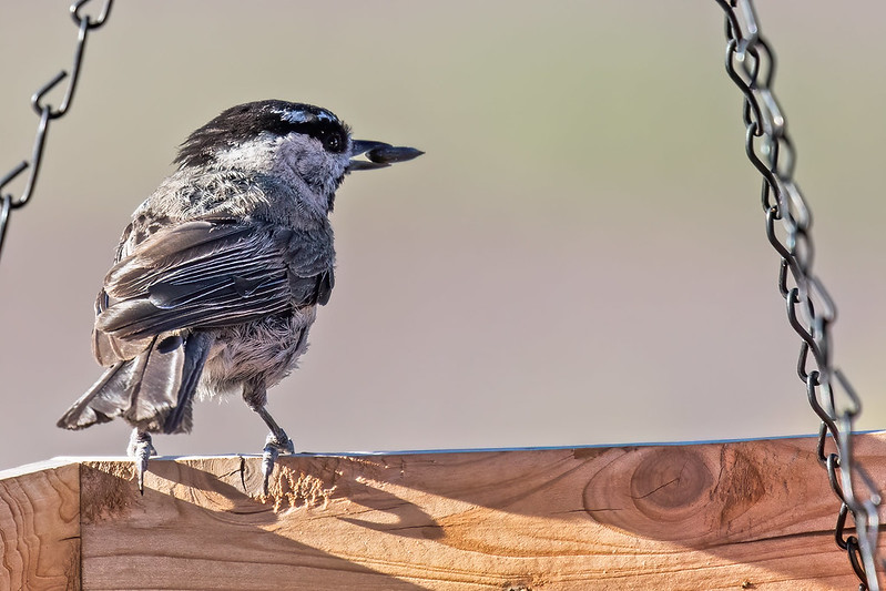 Mountain-Chickadee19-7D2-070419