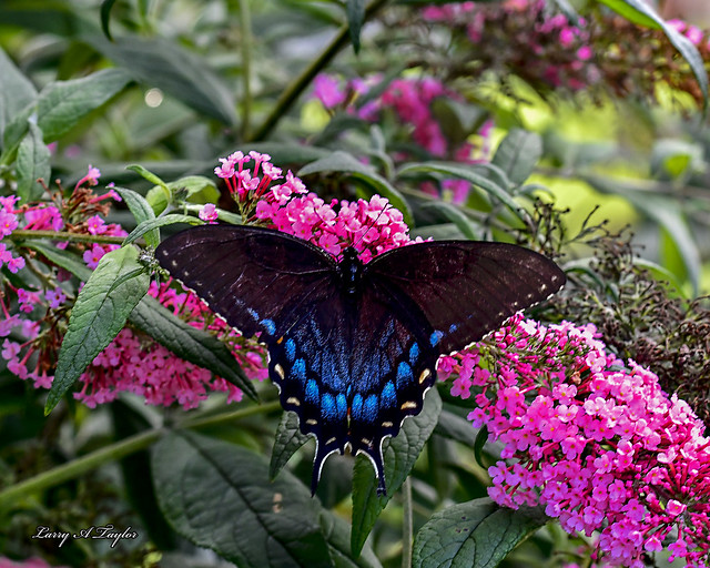 Black Swallowtail butterfly captured on Tennessee's Cumberland Plateau