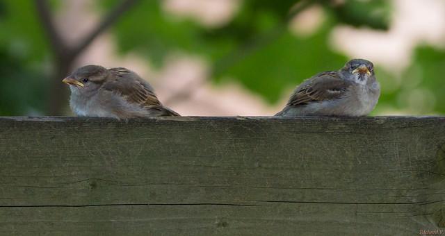 Moineaux domestiques - Passer domesticus - House Sparrows - Québec, Canada - 3559