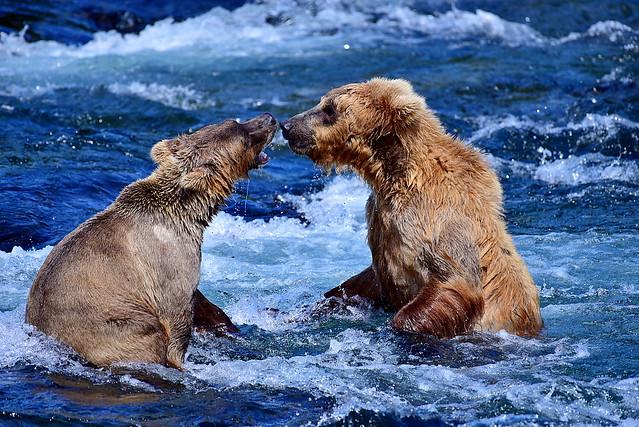 DSC_2507 Bear 205 Alaska 2018