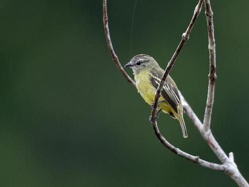 Yellow-crowned Tyrannulet/Maria-te-viu/Mosquerito coronado (Tyrannulus elatus)