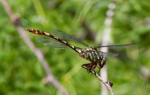 Four striped Leaftail