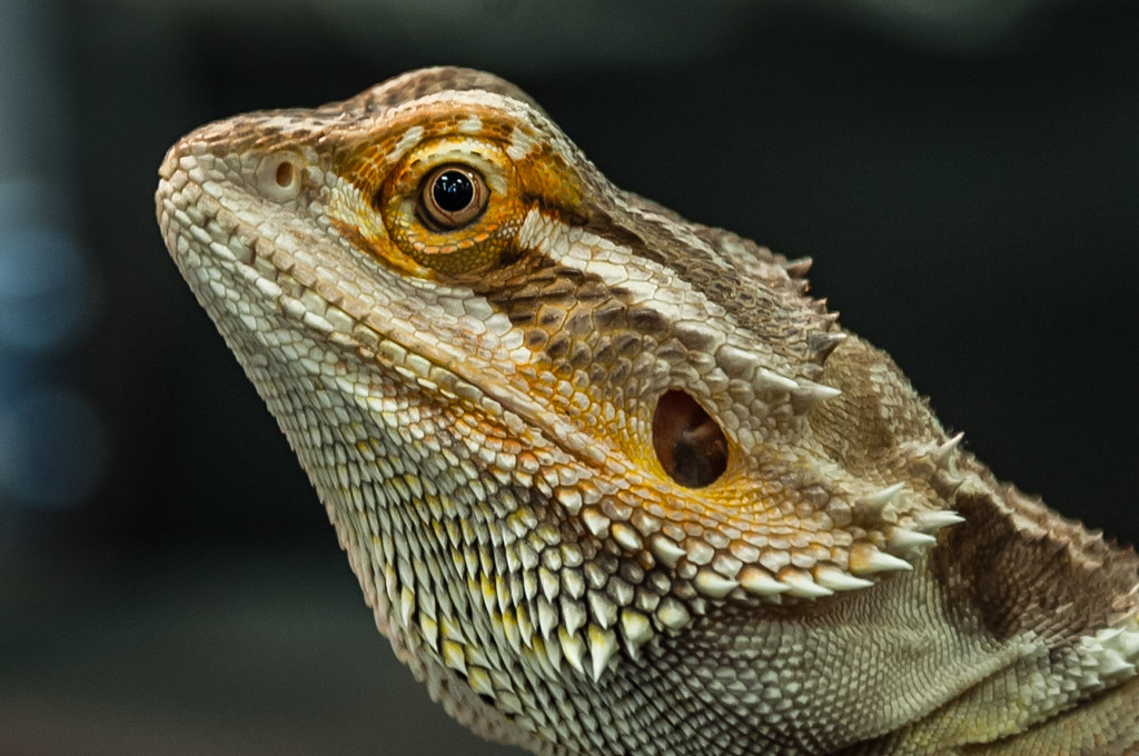 Horned Lizard - close up