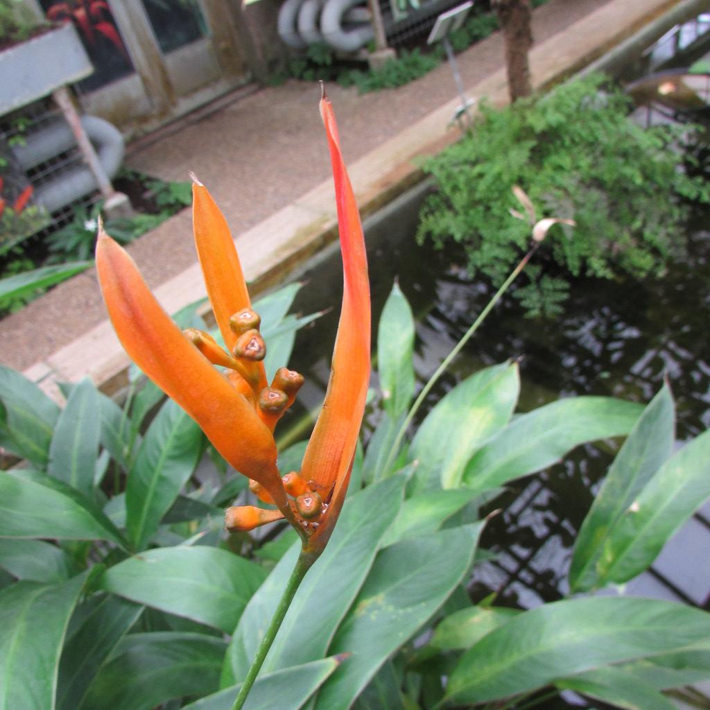 Heliconia psittacorum. False bird of paradise