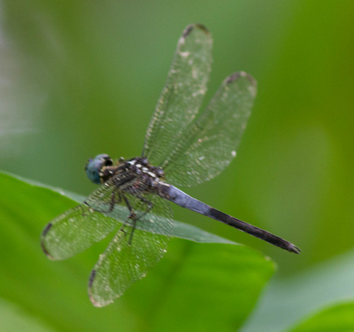 Gray waisted Skimmer