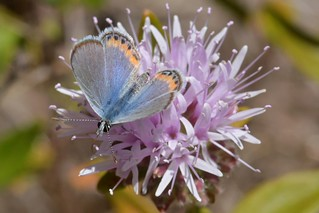 Acmon Blue butterfly on White-leaf Monardella