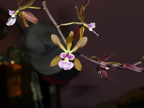 Encyclia Newberyy Dark Stars hybrid orchid