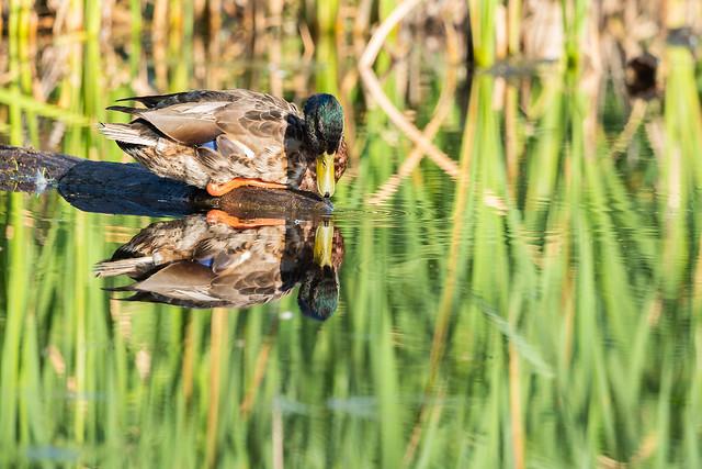 122123 - Canard Colvert Mâle - Male Mallard Duck