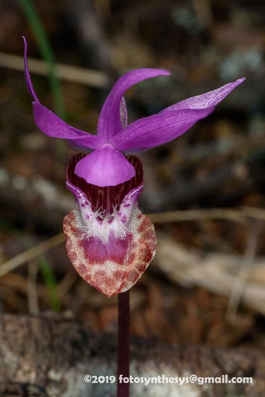 Fairy Slipper Orchid (Calypso bulbosa var. occidentalis) DSC_7337