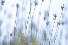 Shamrock Farm - Lavender 9918