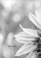 Shamrock Farm - Sunflower 9966