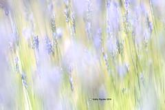 Shamrock Farm - Lavender 9906