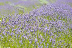 Shamrock Farm - Lavender 9939