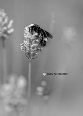 Shamrock Farm - Bee 9936