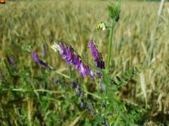 Oberschwaben blüht - Upper Swabia is flourishing - La Souabe supérieure est florissante