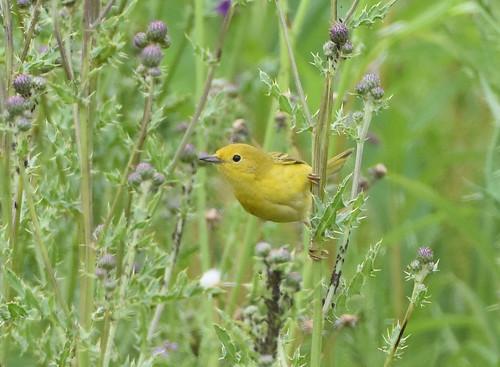 Yellow Warbler 6-24-19