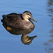 Pacific Black Duck 008