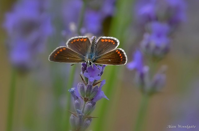 Brown Argus - Bedfordshire