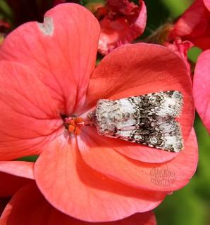 white moth
