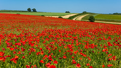 Poppies,  Oxfordshire