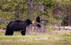 Get Down – Yellowstone National Park