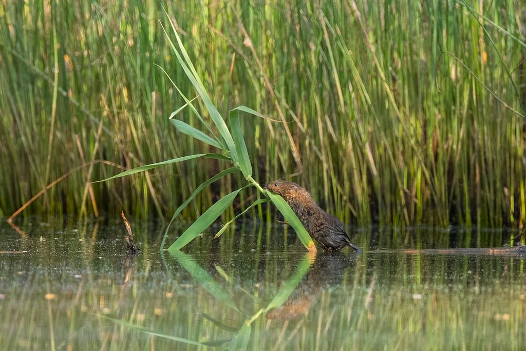 Southwestern Water Vole - Rato-de-água - Arvicola sapidus