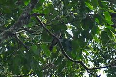 1.05295 Coucou solitaire / Cuculus solitarius solitarius / Red-chested Cuckoo