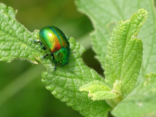 Tansy Beetle (Chrysolina graminis)