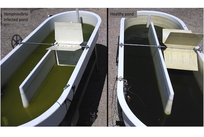 New DNA analysis has found genetic diversity in Vampirovibrio chlorellevorus, complicating efforts to protect algae ponds and the biofuels industry from this destructive pest. The predatory bacterium sucks out the contents of the algae cells, ultimately transforming a productive green algae pond to a vat of rotting sludge.