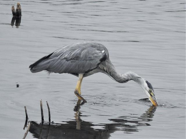Grey Heron on Grey Day at Low Barns