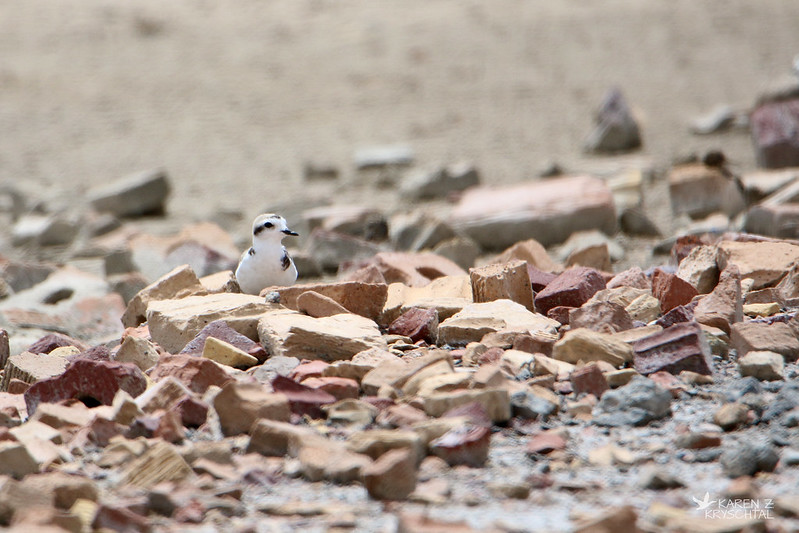 IMG_9950SnowyPlover