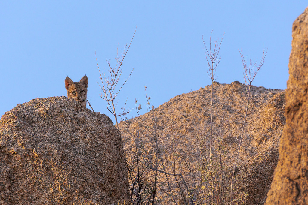 The head of a bobcat is visible as it peers over a large rock formation on the Jane Rau Trail in McDowell Sonoran Preserve in Scottsale, Arizona in July 2019
